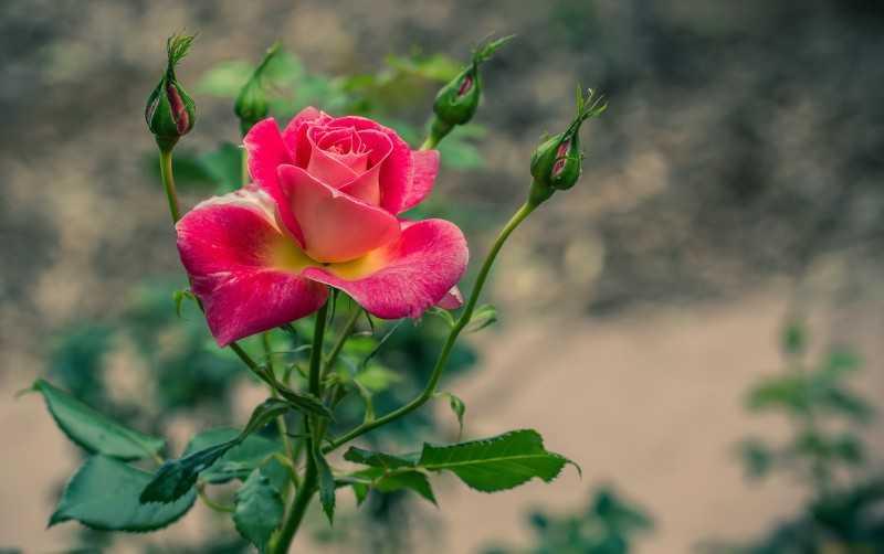 Клумба из роз дизайн